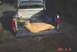 large harbor seal wood carving